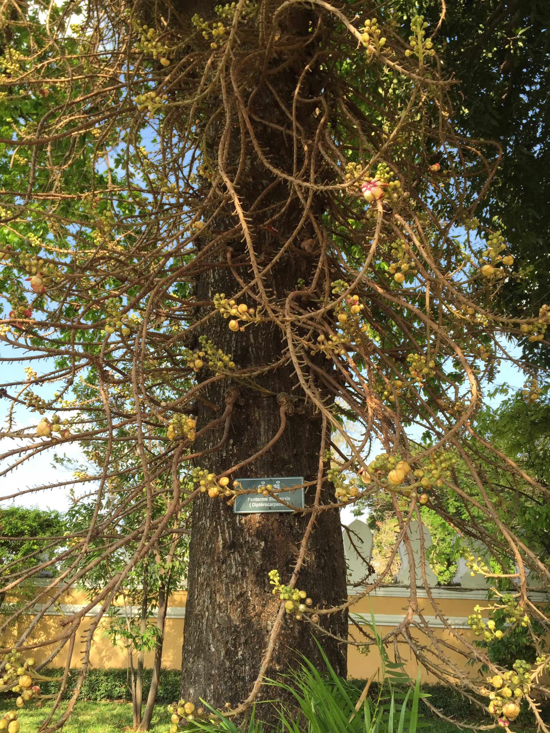 The Sal tree in Royal Palace, Phnom Penh