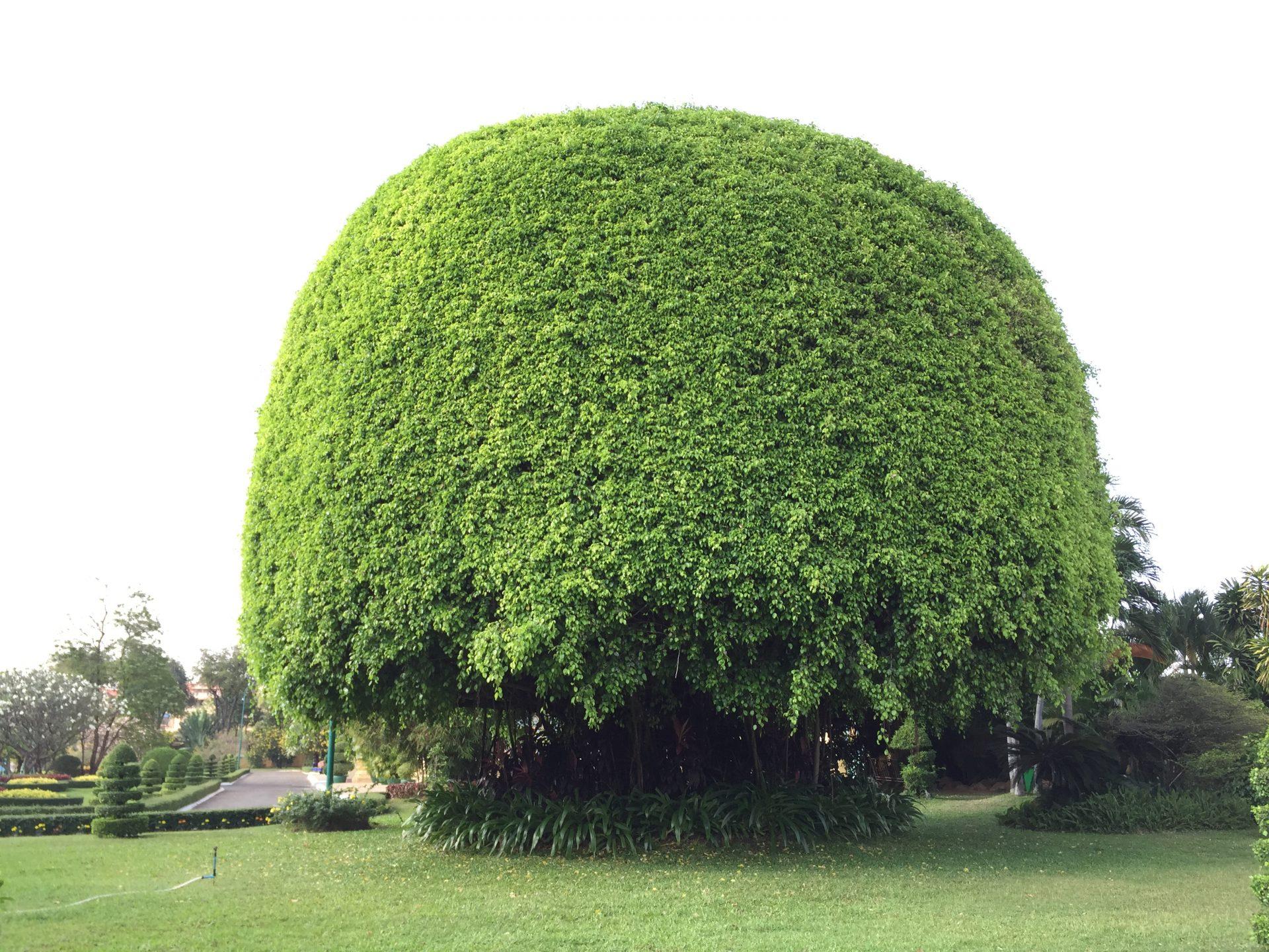 A giant, mushroom-like tree in the King's garden at Phnom Penh