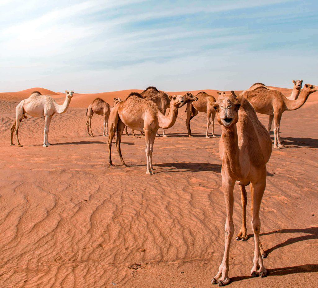 The camels at Dubai desert