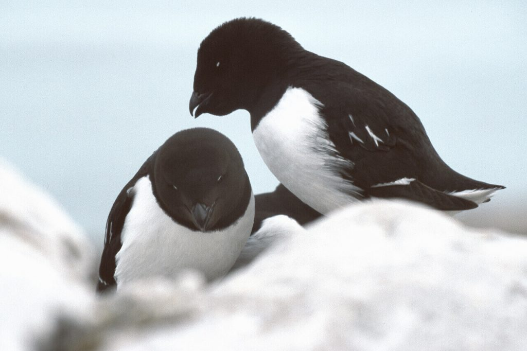 Little Auk, the main ingredient for Kiviaq, among the world most horrible and smelly foods