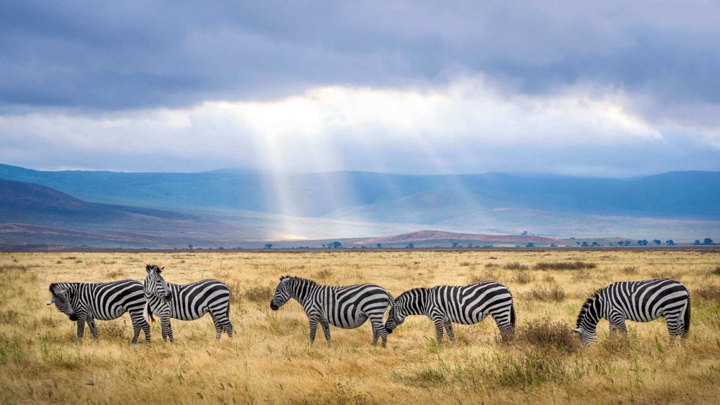 Zebras in African safaris, where wildlife lovers will have their life changing trips