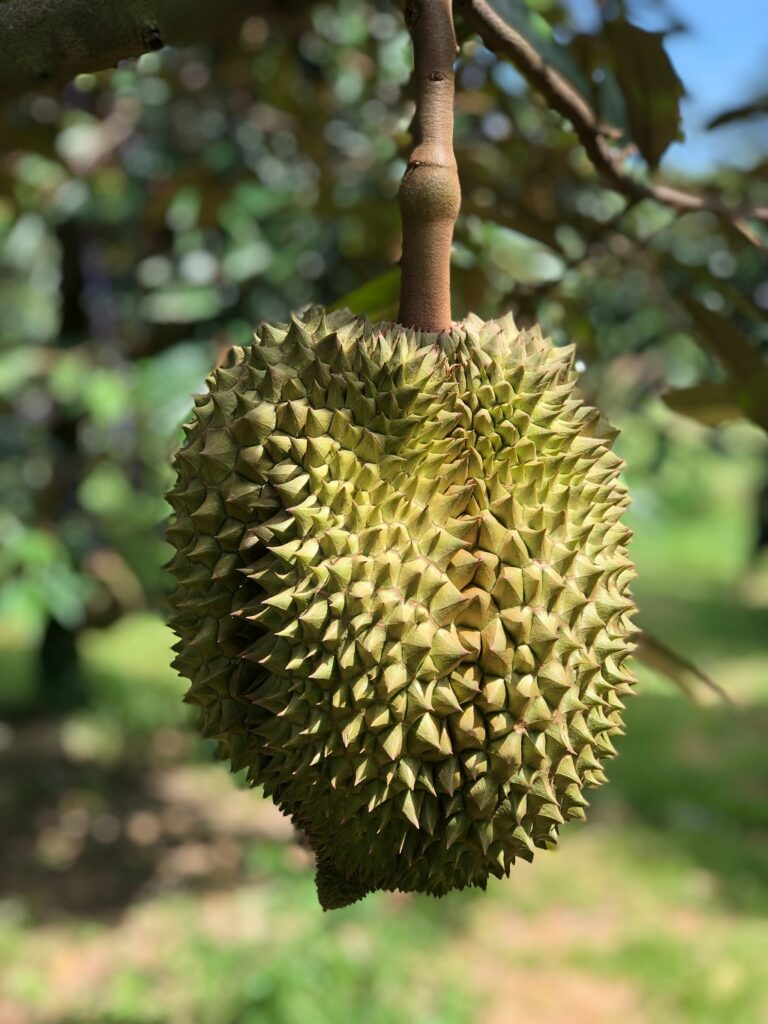 A big durian on a tree