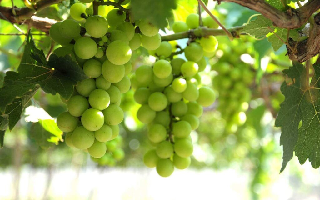 green grapes in Ninh Thuan province