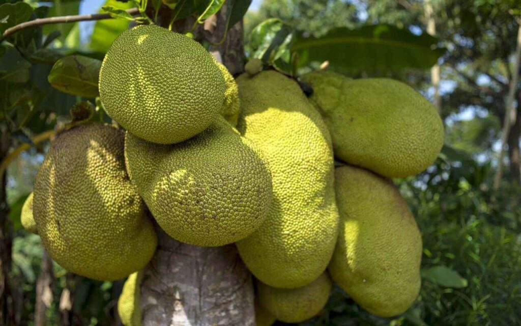 Green jackfruit on the tree