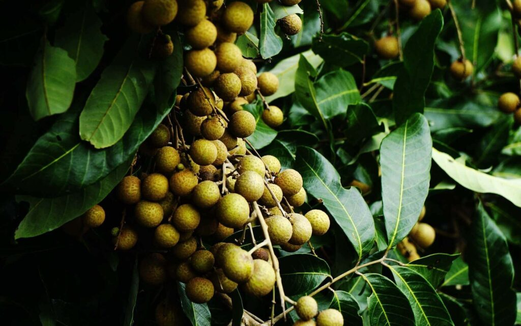 Longan fruit on a tree