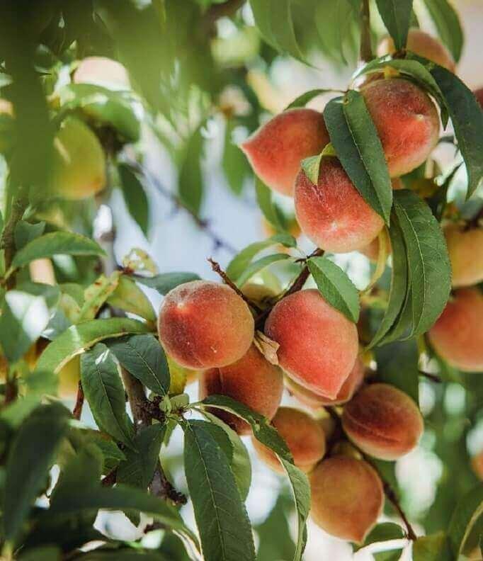 peach on the tree